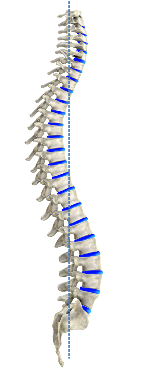 Ideal spinal model according to Harrison
